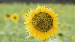 Sunflower swaying. stock footage