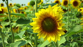 Sunflower swaying in the wind stock video footage