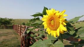 Sunflower stock video