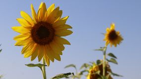 Sunflower swinging in the wind. Yellow sunflowers. Flowers with seeds. . Field of yellow sunflowers