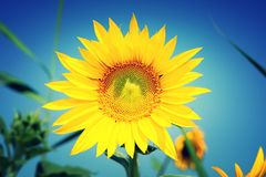 Sunflower. The sunflower symbol of love, happiness and joy royalty free stock photography