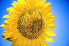 Sunflower. The symbol of the Sun and love Stock Photos