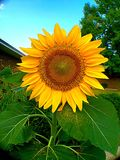 Sunflower. Taken September 1st Royalty Free Stock Photography