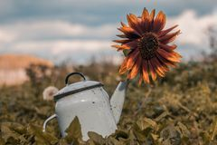 Sunflower in a teapot at field blurry background stock photography