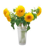 Sunflower Teddy Bear (Helanthus annus) Stock Image
