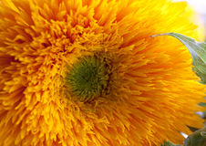 Large Teddy Bear Sunflower. Sunflower Teddy Bear, Helianthus Annuus close up stock image