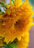 Sunflower - Teddy Bear. Sunflower Teddy Bear, Helianthus Annuus close up Stock Image