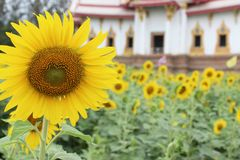 Sunflower and temple background Royalty Free Stock Photography