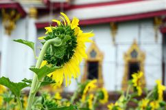 Sunflower and Temple with sky background Royalty Free Stock Image