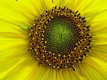 Sunflower texture Stock Images
