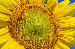 Sunflower texture Royalty Free Stock Images