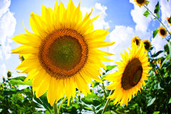 Sunflower in thailand Stock Images
