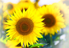 Sunflower in thailand Royalty Free Stock Photo