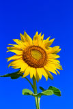 Sunflower in Thailand. Sunflower at Lopburi in Thailand Royalty Free Stock Photography
