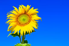 Sunflower  in thailand. A half of sunflower at Lopburi province in Thailand Royalty Free Stock Images