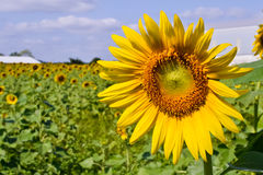 Sunflower of thailand Stock Images
