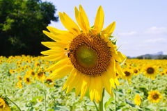 Sunflower of thailand Royalty Free Stock Images