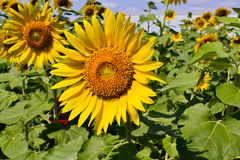 Sunflower of thailand Stock Photography