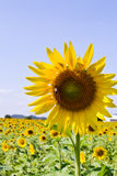Sunflower of thailand Royalty Free Stock Photo
