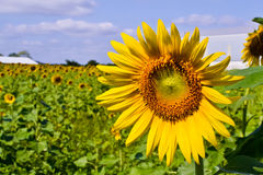 Sunflower of thailand Royalty Free Stock Photos
