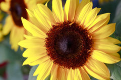 Sunflower, The Big Beautiful Flower. An Agricultur Stock Photos