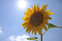 Sunflower. There is a sunflower in front of the sun Stock Photos