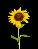 Helianthus aka Sunflower with bees, isolated on black Stock Photography