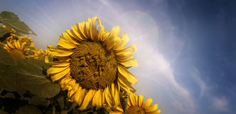 SunFlower. Tight shot of a sunflower with lens flare from behind Stock Photo