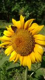 Sunflower with tiny butterfly Stock Photography
