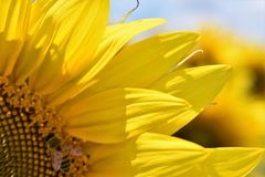Sunflower to the bee. Yellow sunflower close up with bee entering it Royalty Free Stock Photos
