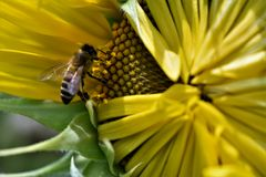 Sunflower to the bee. Yellow sunflower close up with bee entering it Royalty Free Stock Image