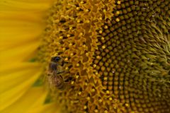 Sunflower to the bee. Yellow sunflower close up with bee entering it Stock Photo