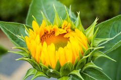 Sunflower that is  about to blossom Royalty Free Stock Photography