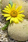 Sunflower stages Royalty Free Stock Photos