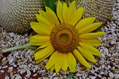 Sunflower stages Royalty Free Stock Photography