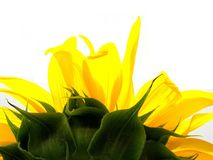 Sunflower torch. Upper half of a flowering sunflower, viewed from behind, like a torch, white background Stock Images