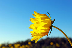Sunflower, Torrey Pines State Park, La Jolla Royalty Free Stock Image