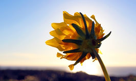 Sunflower, Torrey Pines State Park, La Jolla Royalty Free Stock Photography
