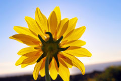 Sunflower, Torrey Pines State Park, La Jolla Royalty Free Stock Photos