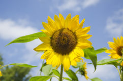 Sunflower towards the blue sky. Yellow sunflowers in a field on a summer day with blue sky and white clouds stock photo