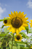 Sunflower towards the blue sky. Yellow sunflowers in a field on a summer day with blue sky and white clouds royalty free stock photography