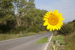 Sunflower Travel. Sunflower plant by the side of the road Stock Photo