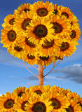 Sunflower tree collage. With photographic and hand-drawn elements Royalty Free Stock Photography