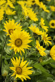 Sunflower Trio royalty free stock photo
