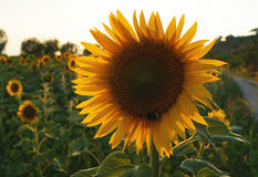 Sunflower in Tuscany. Royalty Free Stock Images