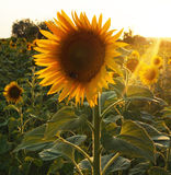 Sunflower in Tuscany. Field of sunflowers in Tuscany, Italy (July Stock Photo