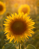 Sunflower in Tuscany. Field of sunflowers in Tuscany, Italy (July Royalty Free Stock Photo