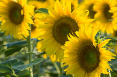 Sunflower, Tuscany. Typical yellow sunflower color, Italy Royalty Free Stock Photo