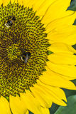Sunflower and two bees. Close-up of sunflower and two beea collecting nectar Stock Photography