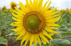 Sunflower with two bees Stock Images